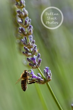 Dollar Stock Photo 253 Bee on Lavender