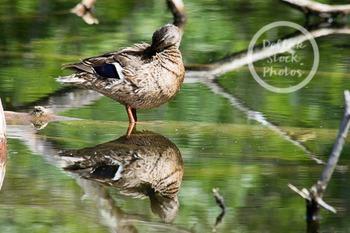 Dollar Stock Photo 255 Duck Reflection