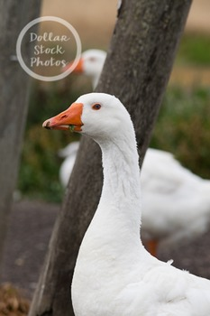 Dollar Stock Photo 258 Goose Eating a Leaf