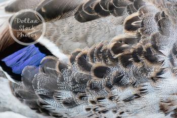 Dollar Stock Photo 259 Duck Feathers Texture
