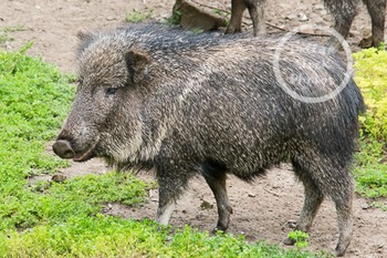 Dollar Stock Photo 260 Chacoan Peccary