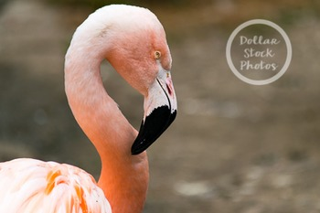 Dollar Stock Photo 261 Flamingo