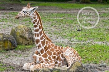 Dollar Stock Photo 263 Young Giraffe