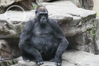 Dollar Stock Photo 265 Gorilla