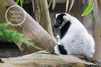 Dollar Stock Photo 269 Black and White Lemur