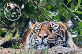 Dollar Stock Photo 271 Tiger Nap