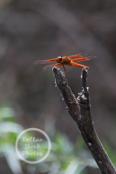 Dollar Stock Photo 28 Red Dragonfly