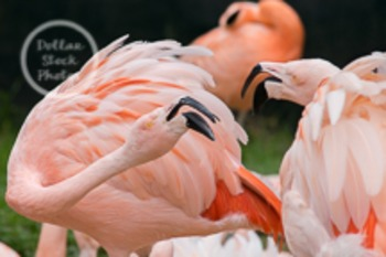 Dollar Stock Photo 29 Flamingo Fight