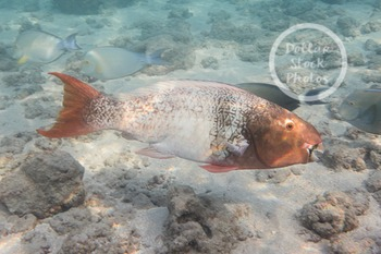 Dollar Stock Photo 298 Parrot Fish
