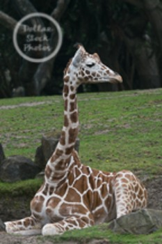 Dollar Stock Photo 30 Sitting Giraffe