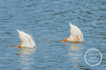 Dollar Stock Photo 304 Geese Feeding