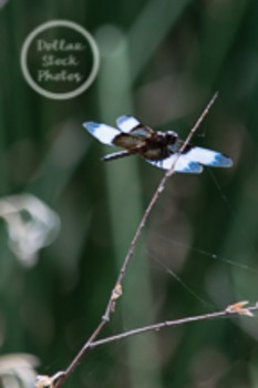 Dollar Stock Photo 31 Blue and White Dragonfly