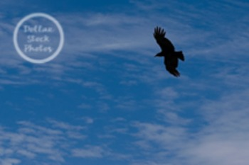 Dollar Stock Photo 32 Crow Flying