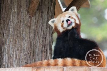 Dollar Stock Photo 312 Red Panda Tongue