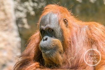 Dollar Stock Photo 315 Orangutan