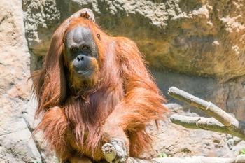 Dollar Stock Photo 316 Orangutan Scratching Head