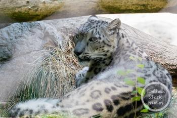 Dollar Stock Photo 318 Snow Leopard