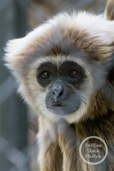 Dollar Stock Photo 319 Sad Monkey Gibbon