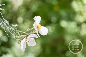 Dollar Stock Photo 321 White Flower