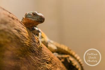 Dollar Stock Photo 322 Lizard