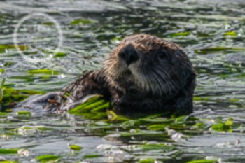 Dollar Stock Photo 36 Sea Otter Face