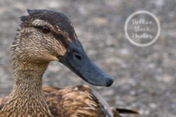 Dollar Stock Photo 41 Female Duck