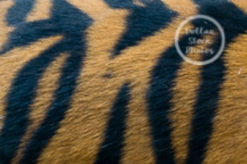 Dollar Stock Photo 43 Texture: Tiger Fur