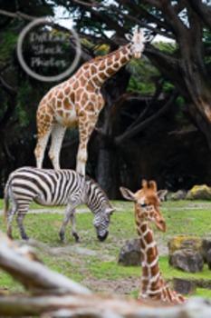 Dollar Stock Photo 48 Giraffes and a Zebra