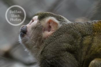 Dollar Stock Photo 47 Squirrel Monkey
