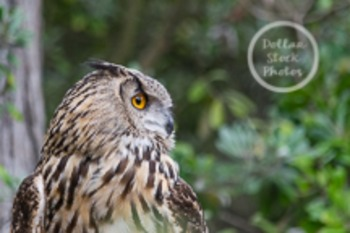 Dollar Stock Photo 51 Owl
