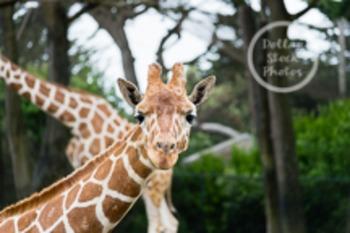 Dollar Stock Photo 53 Giraffe Stare