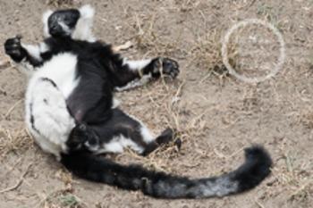 Dollar Stock Photo 54 Napping Lemur