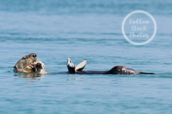 Dollar Stock Photo 56 Sea Otter Eating a Clam