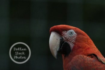Dollar Stock Photo 6 Red Parrot