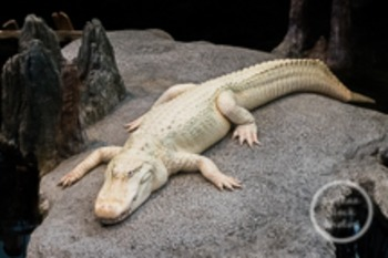 Dollar Stock Photo 64 Albino Alligator