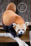 Dollar Stock Photo 70 Red Panda aka Firefox