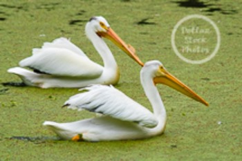 Dollar Stock Photo 71 White Pelicans