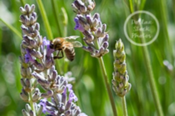 Dollar Stock Photo 96 Bee in a Flower