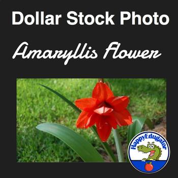 Dollar Stock Photo - Amaryllis Flower