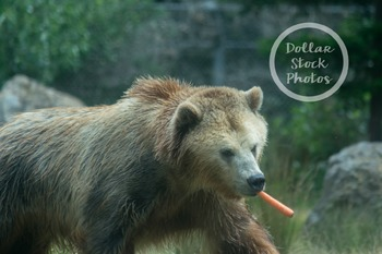 Dollar Stock Photo Freebie 5 Grizzly Bear with Carrot