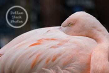 Dollar Stock Photo Freebie 6 Flamingo with Attitude