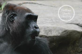 Dollar Stock Photo Freebie 7 Silly Gorilla