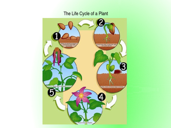 Domain 6: The life cycle of a plant
