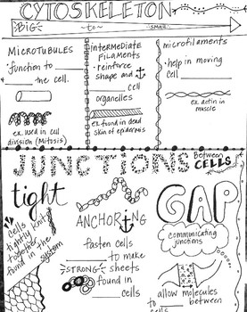 Doodle Notes Cytoskeleton Fibers and Cellular Junctions