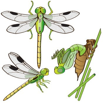 Dragonfly Life Cycle Clip Art - Insect Graphics - Bug Illustrations