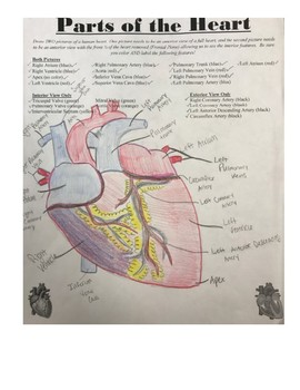 Drawing and Labeling Parts of the Human Heart