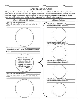 Drawing the Cell Cycle Worksheet by Ian Keith | Teachers Pay Teachers