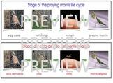 Dual Language Bilingual Stages of the Praying Mantis Life Cycle