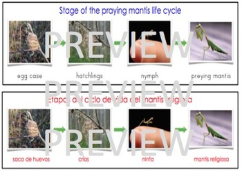 Dual Language Bilingual Stages of the Praying Mantis Life Cycle