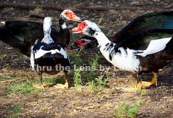 Duck Conversation Stock Photo #188